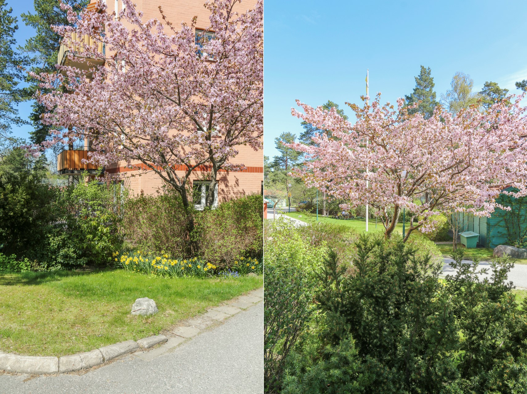 När körsbärsträdet blommar