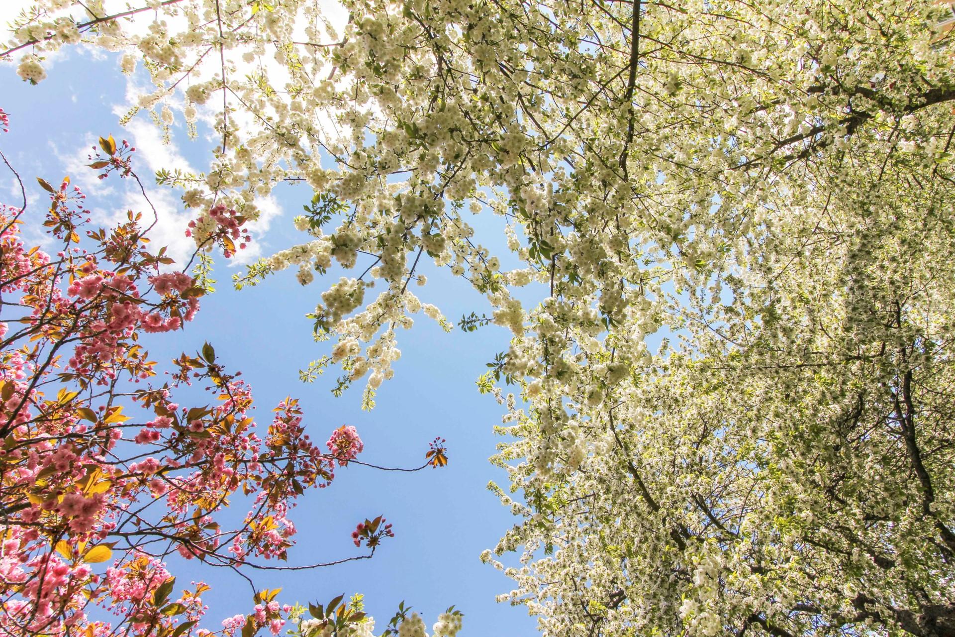 Körsbärsblom vid Västerledstorg